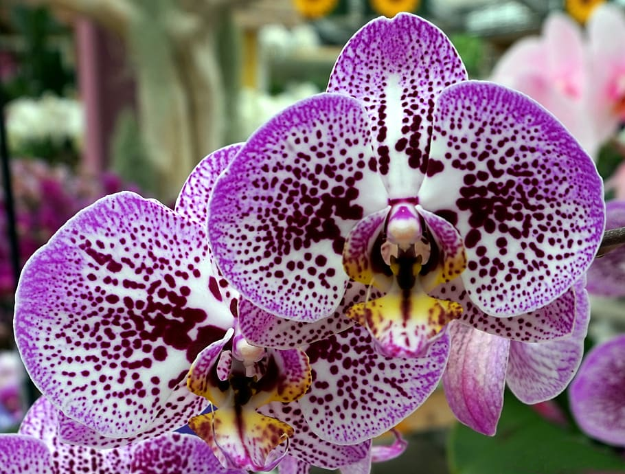 orchid-purple-blossom-bloom-flower-flora
